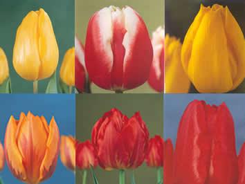1. De tulp als snijbloem