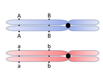 4. Basis genetica