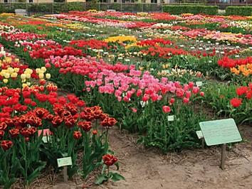 1. Tulp in het plantensysteem